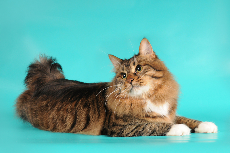 American Bobtail Cats For Sale