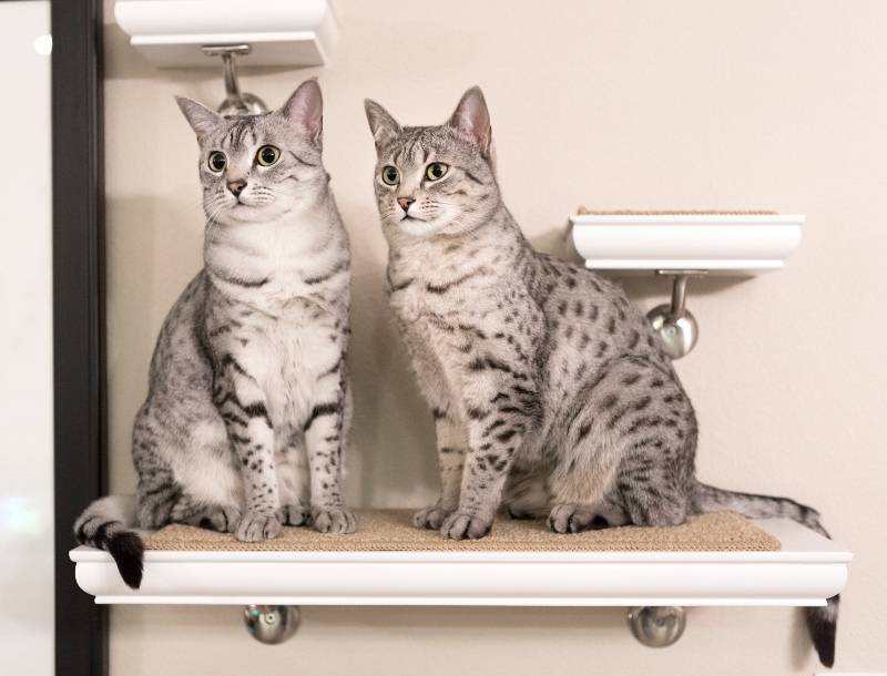 Egyptian Mau Cats For Sale