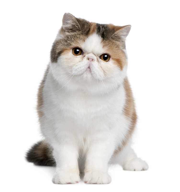 Exotic Shorthair Cat For Sale
