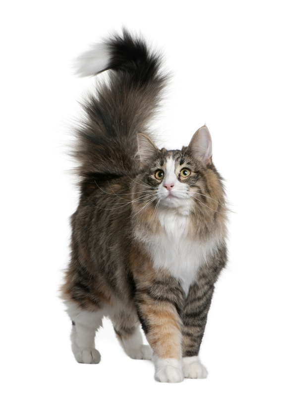 Norwegian Forest Cats For Sale