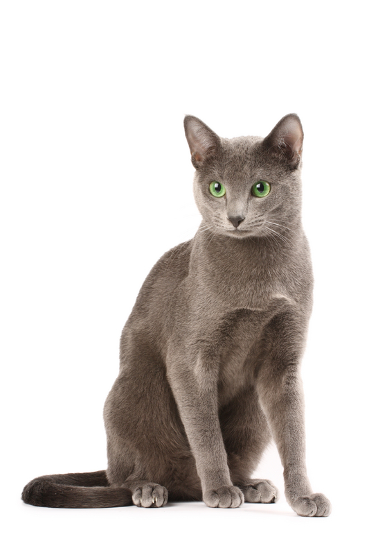 Russian Blue Cats For Sale