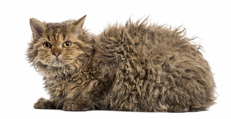 Selkirk Rex Cats For Sale