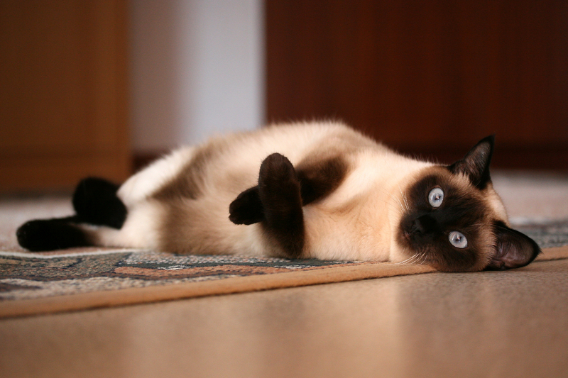 Siamese Cats For Sale