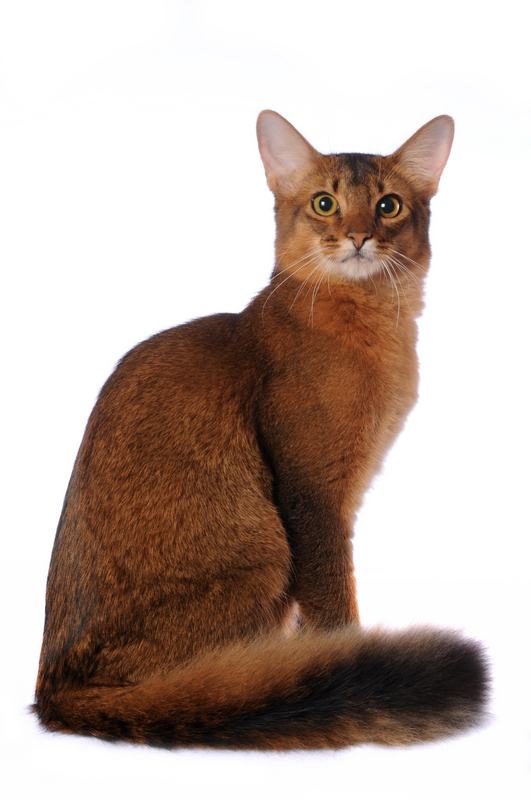 Somali Cats For Sale