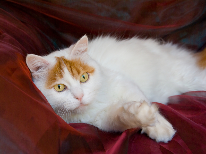 Turkish Van Cats For Sale